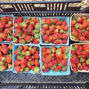 Strawberries (quart)