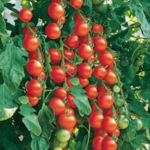 Vine Tomato Seedlings