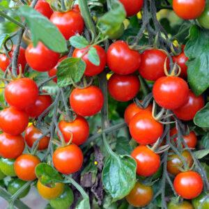 Cherry Tomato Seedlings