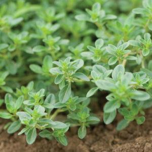 Creeping Thyme Seedlings