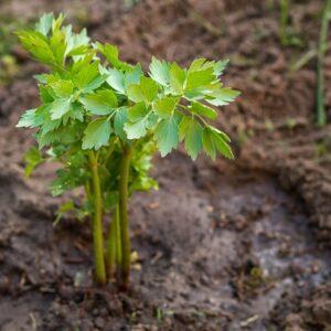 Lovage Seedlings